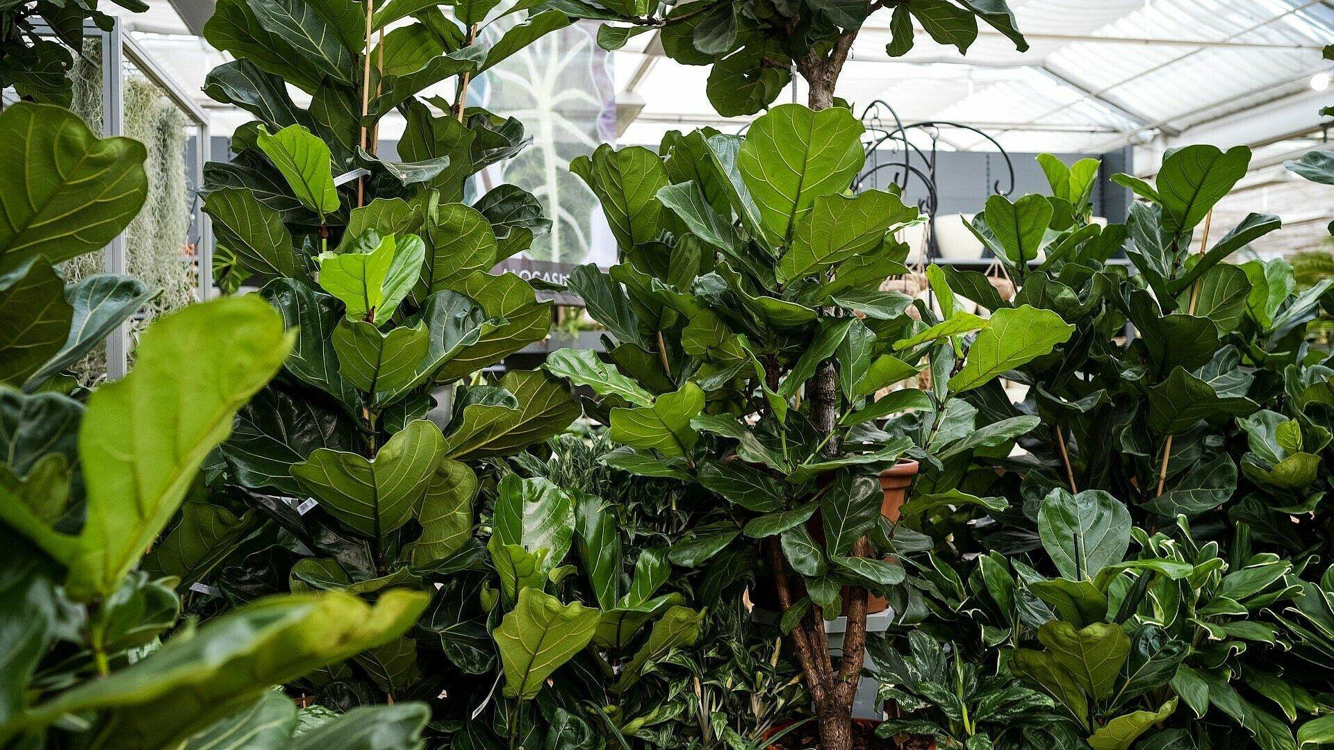 Pflegeleichte Zimmerpflanze Geigenfeige