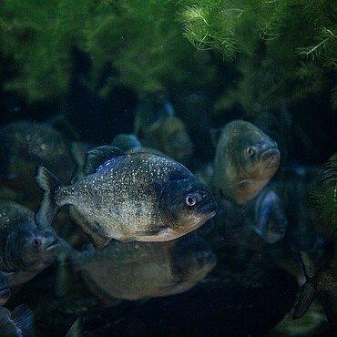 Piranhas bei der Taschenlampenführung im Kölner Zoo