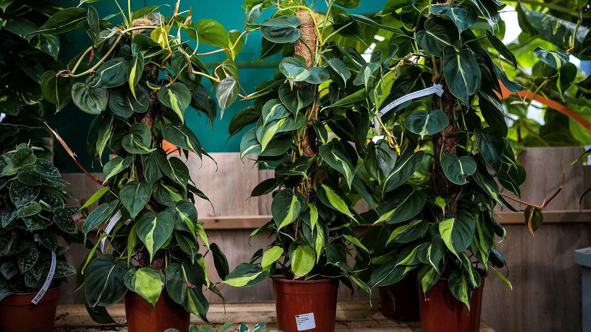 Pflegeleichte Zimmerpflanze Philodendron