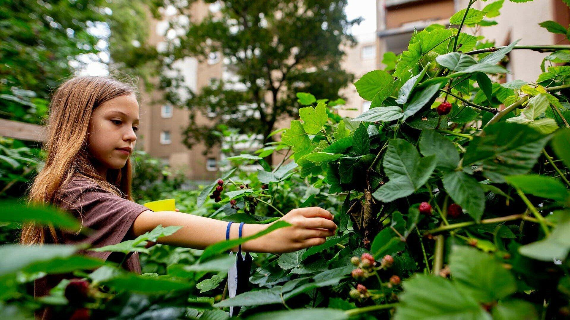 Emelie pflückt Brombeeren im GartenClub Bilderstöckchen