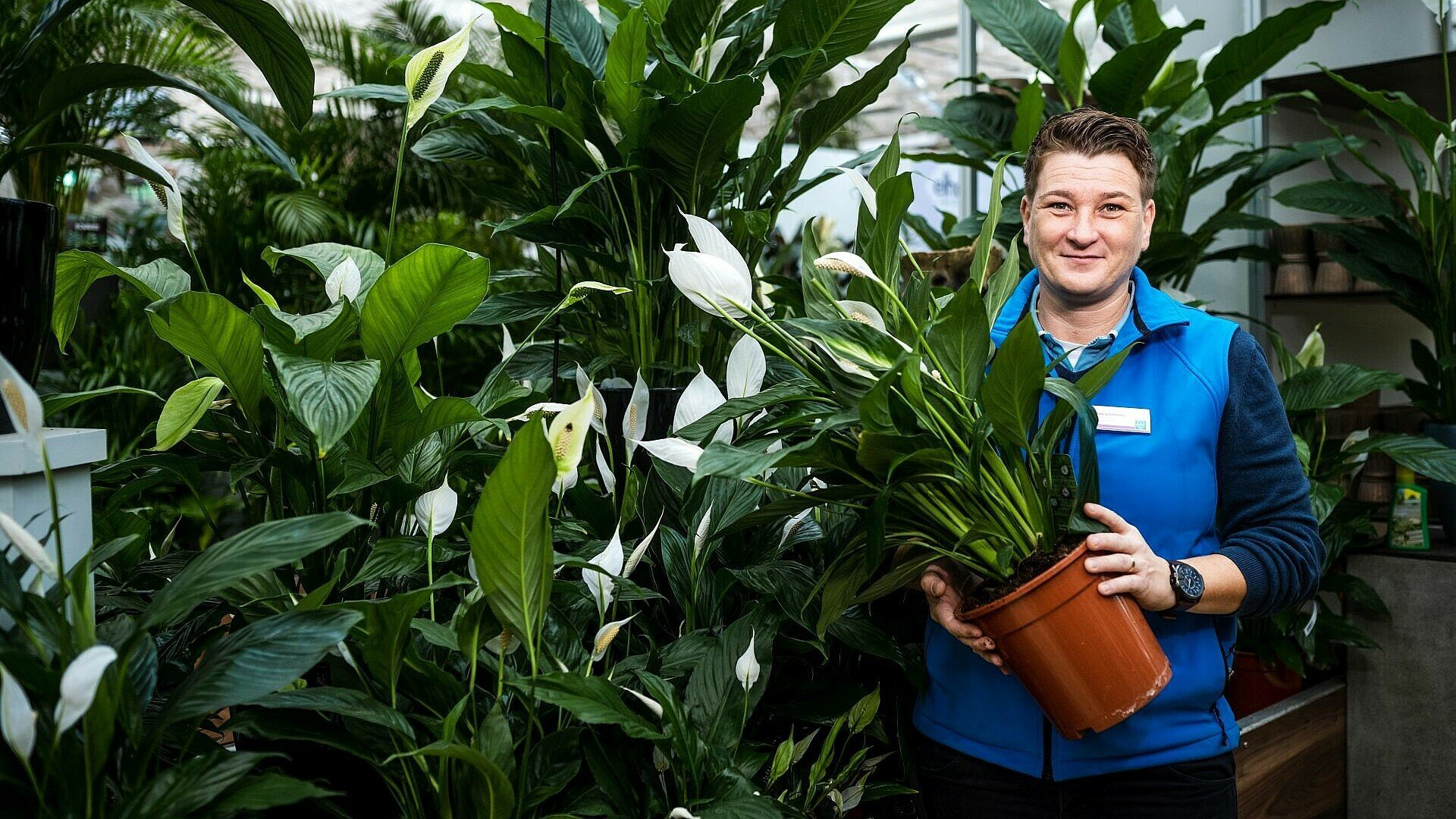 Pflegeleichte Zimmerpflanze Spathiphyllum