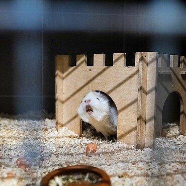 Meerschweinchen im Tierheim Zollstock