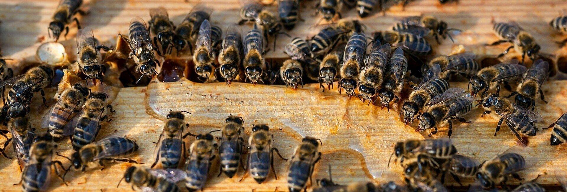 Die Bienen im Waldbadviertel trinken Maissirup, um diesen dann zu Nektar und Honig zu verarbeiten