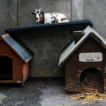Ziege im Tierheim Zollstock