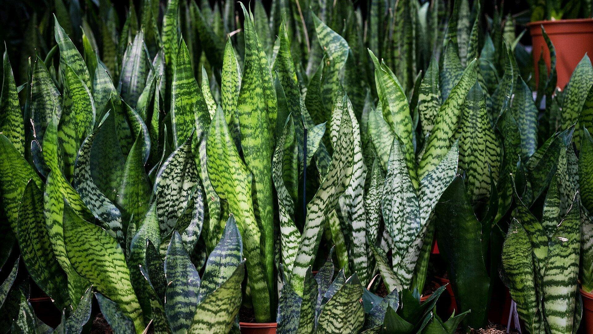 Pflegeleichte Zimmerpflanze Sansevieria