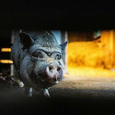 Schwein im Tierheim Zollstock