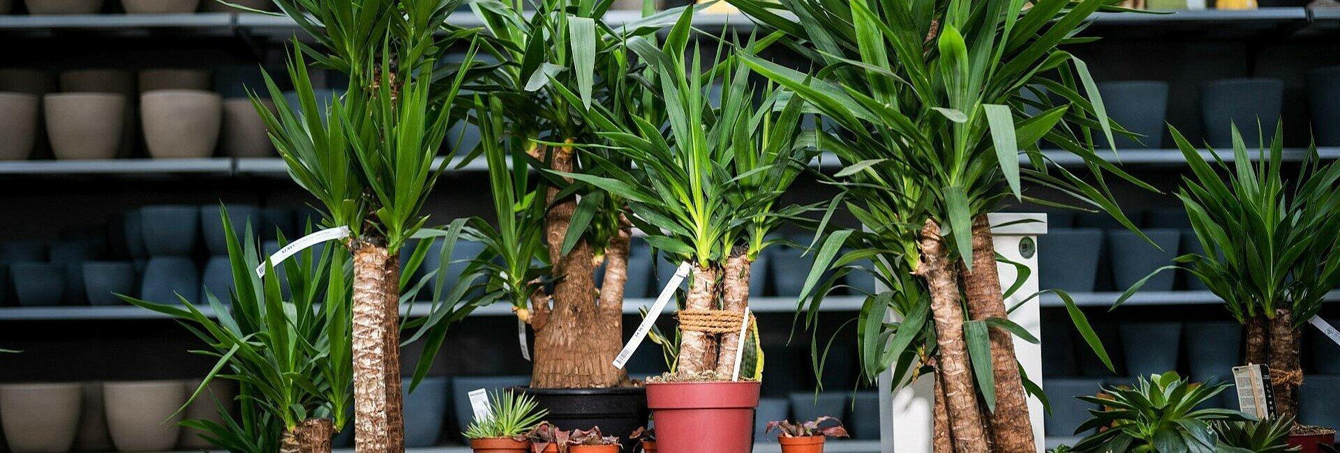 Pflegeleichte Zimmerrpflanze Yucca-Palme