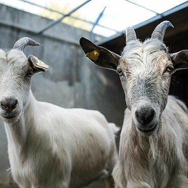 Ziegen im Tierheim Zollstock